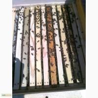 Матки Пчелопакеты, бджолопакети, с доставкой