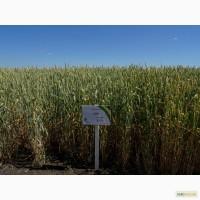 Семена озимой пшеницы Зира (элита)