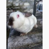 Продам кроликов калифорнийской породы разного возраста