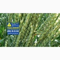 Семена озимой пшеницы Кубус, урожай 2017 года от компании Дер Трей