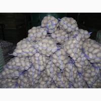 Продам картофель Белороса
