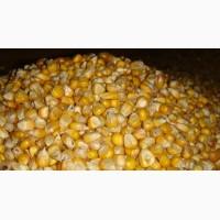 Кукурудза Пшениця фураж