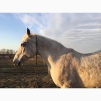 Орловская рысистая кобыла лошадь чистопородная