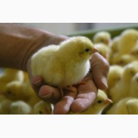 Продаємо добові курчата оптом та в роздріб