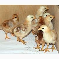 2-хНедельные цыплята Испанки