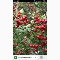 Закупаем сухие ягодыбоярышника самовывоз от 1 т