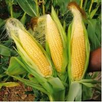 Покупаем кукурузу. Вся Украина