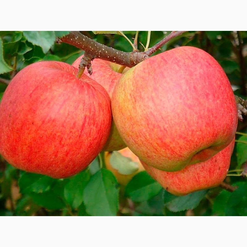 Продам яблука сортів Флоріна, Джонаголд Декоста, Винницкая обл.