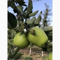 Продамо яблуко вищого, першого, другого сорту.Голден Делішес, Грені Сміт, Фуджі, Ред Чіф