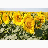 Продам семена подсолнечника Форвард (гибрид F1)