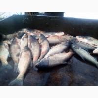 Продам свіжу ставкову рибу