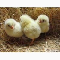 Куры, цыплята (суточные, подрощенные)