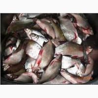 Продам ставковую рыбу оптом. Свежемороженая, охлажденная. Отвечаю только на тел.звонки