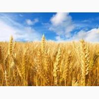 Продам Сталева(пшеница)