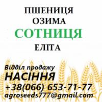 Семена озимой пшеницы Сотница - от производителя