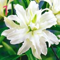 Махровые лилии заказ весна 2020