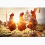 Продам куриц, куриное мясо