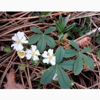 Лапчатка белая, пятипал (трава) 50 грамм