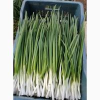 Продам темно-зеленый лук, перо, идеальное качество