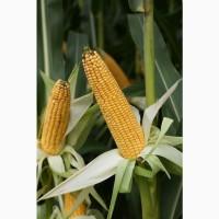 Насіння кукурудзи Філмено (ФАО 280) від компанії Saatbau