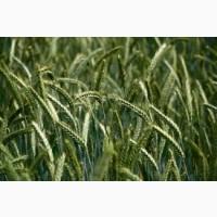 Закупаем новый урожай 2021 года. Ячмень