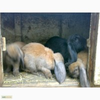 Продам кролика французкий баран