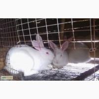 Кролі кролики породи термонська термонці Львів Розділ Стрий Дрогобич Жидачів Трускавець