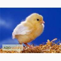 Продам добові курчата Іспанка-голошийка, Мастер Грей, Росс-308