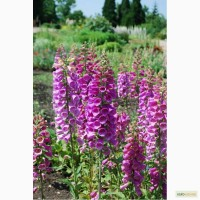 Наперстянка пурпурная (наперстка пурпурова - укр.), семена
