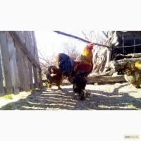 Куры брама куропатчатая цыплята