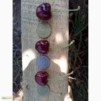 Продам черешню: поздняя мелитопольская, крупноплодная, находка, дилема