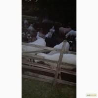 Продажа 300 овец