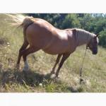 Продам 2 коней-ваговозів:кобилу і лошицю