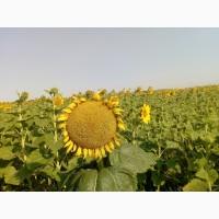 Семена подсолнуха Ауріс(под Гранстар) ВНИС