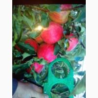 Продам яблука. Флоріна і Чемпіон