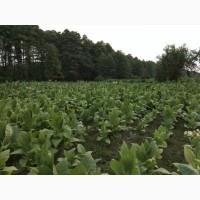 Продам семена табака
