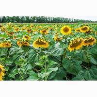 Продам семена подсолнечника гибрид Гусляр экстра фракция (УКР)