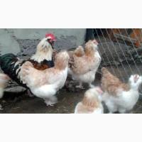 Фавероль Лососевий інкубаційні яйця