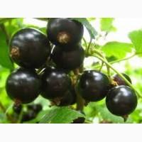 Саженцы смородины черной Ювилейная Копання