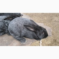 Продам кроликов Полтавского серебра