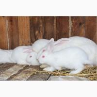 Продам кроликов, , термонская белая новозеландская красная