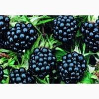 Закупка замороженной ягоды :ежевики, вишни и клубники на постоянной основе