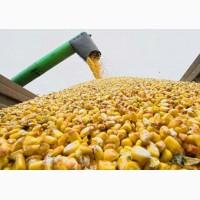 Продам кукурузу фуражную, разные обьемы