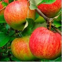 Продам яблоко
