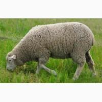 Продаються вівці меринос