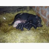 Свиноматки в#039;єтнамські купити