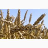Продам Чорнява(пшеница)