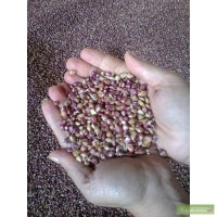 Продам чеснок семена сорт Любаша