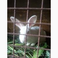 Кролі термондської породи