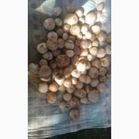 Продам порошок гриба Веселка обыкновенная (панна)